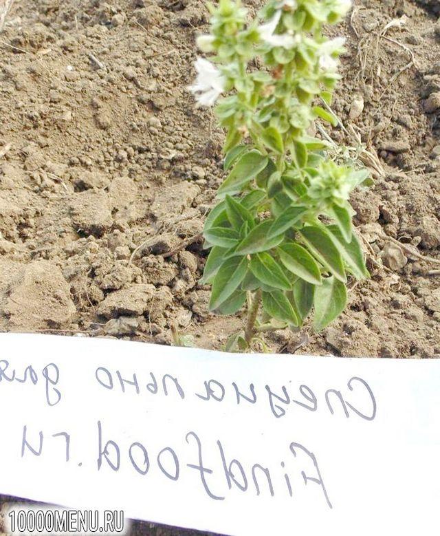 Фото - Пряні трави в олії на зиму - фото 1 кроку