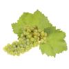Виноград шардоне (chardonnay)